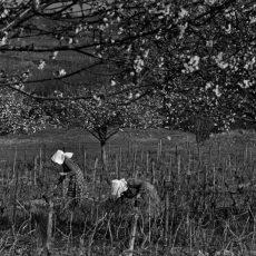 Au début du printemps on «tire les bois» avant que les bourgeons n'apparaissent