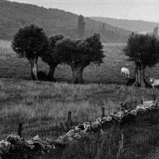 De la «route des vins» de la Côte Chalonnaise on peut voir les bovins charolais dans les prairies