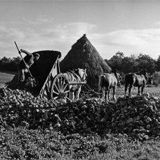 Le tombereau de betteraves tiré par trois chevaux attelés en flèche est vidé non loin d'une meule de foin